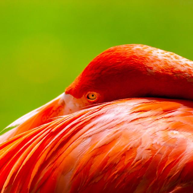 """""""Caribbean Flamingo I have my eye on you!"""" stock image"""