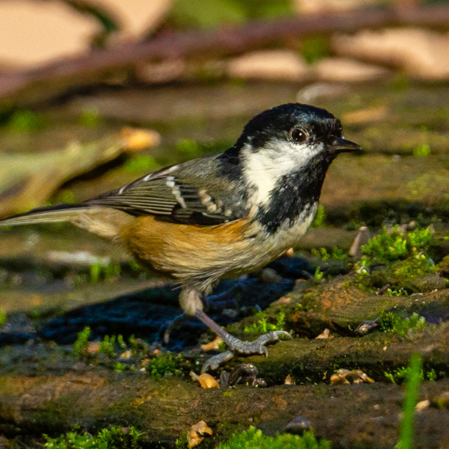 """""""Coal tit on a moss covered log landscape view"""" stock image"""