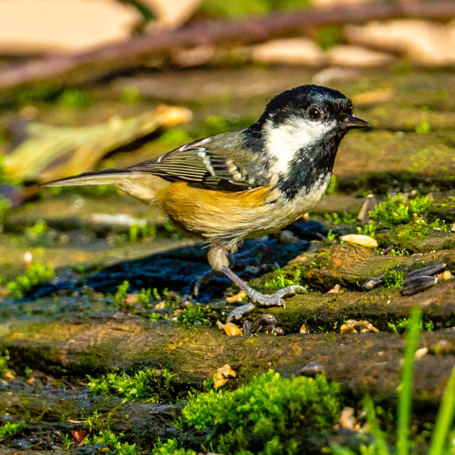 """""""Coal tit on a moss covered log portrait view"""" stock image"""