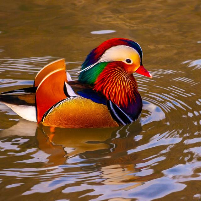 """A Mandarin Drake"" stock image"