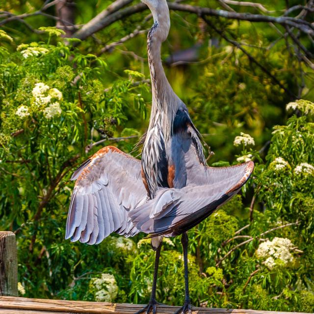 """Great Blue Heron sunning itself"" stock image"