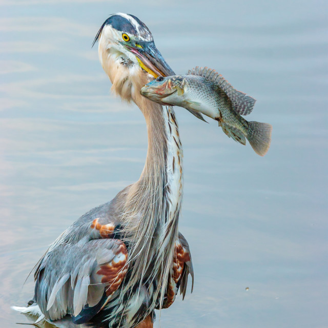 """""""A Great Blue Heron catching a fish"""" stock image"""