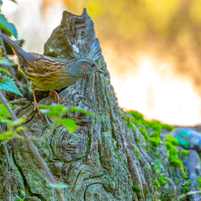 """""""A Hedge Sparrow well camouflaged against a log"""" stock image"""