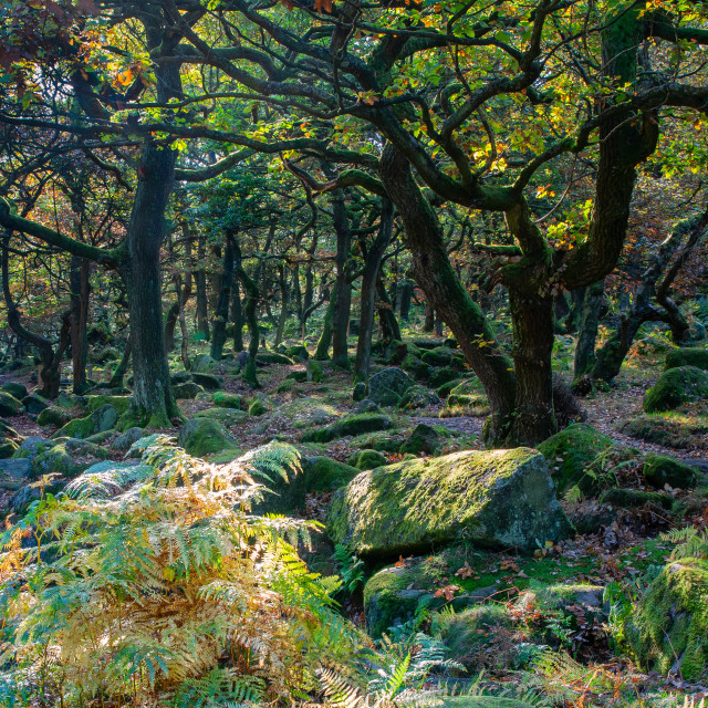 """""""Trees in Padley Gorge"""" stock image"""