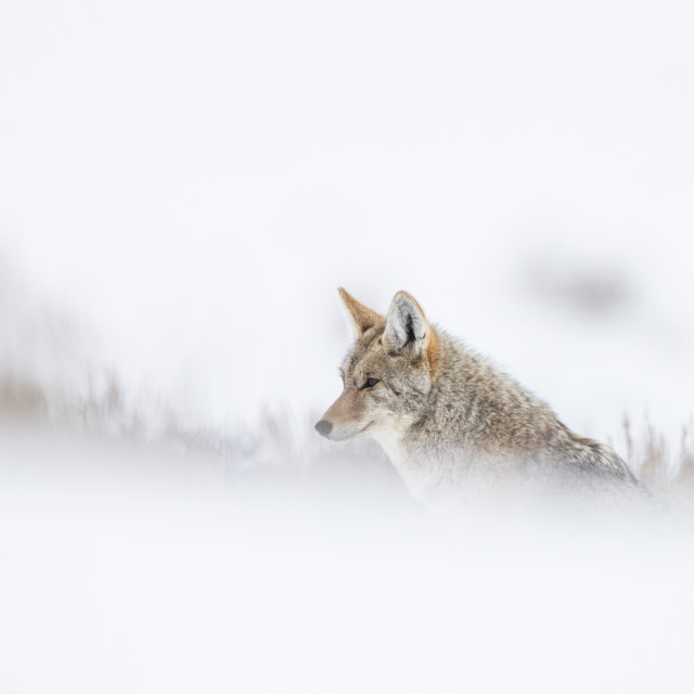 """""""Coyote in the snow"""" stock image"""