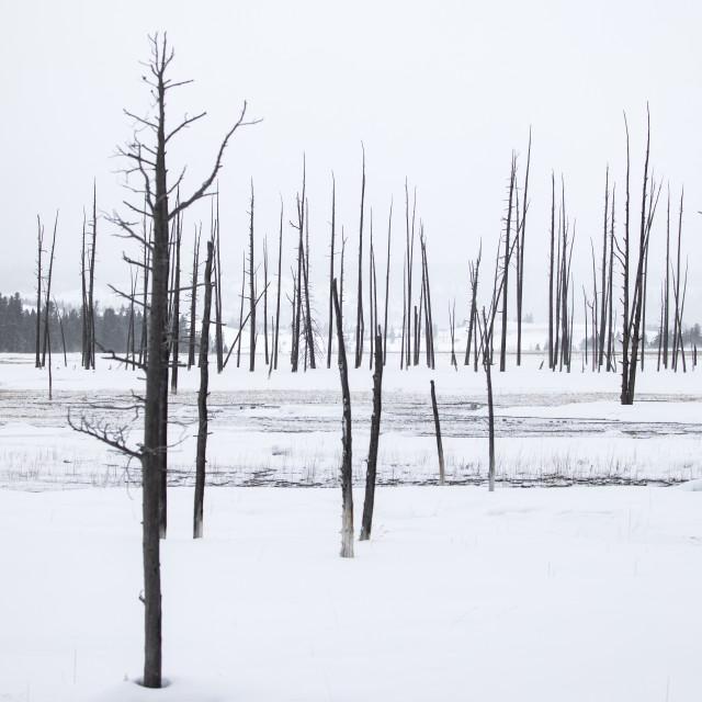 """Black trees in snow"" stock image"