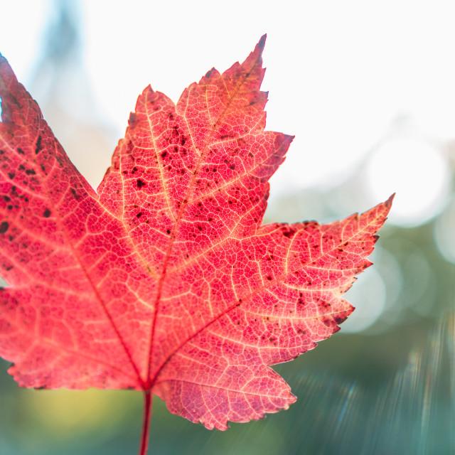 """Maple Leaf Close Up"" stock image"