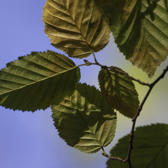 """Beech leaves close up"" stock image"