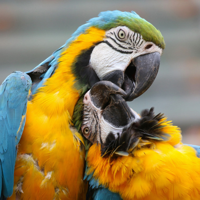 """""""Blue and Yellow Macaws"""" stock image"""