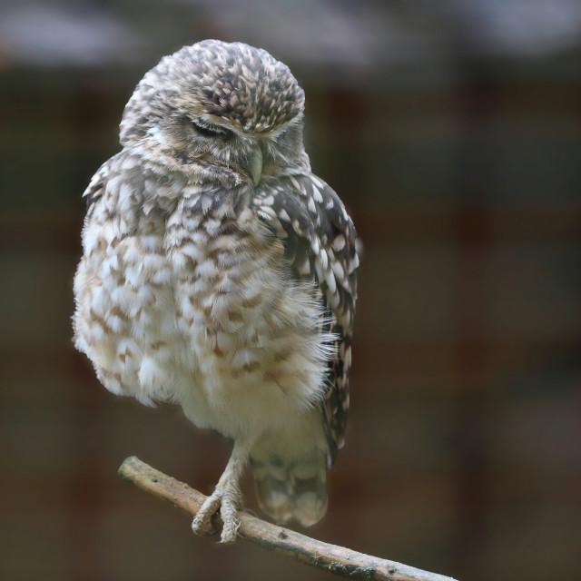 """Little Owl"" stock image"