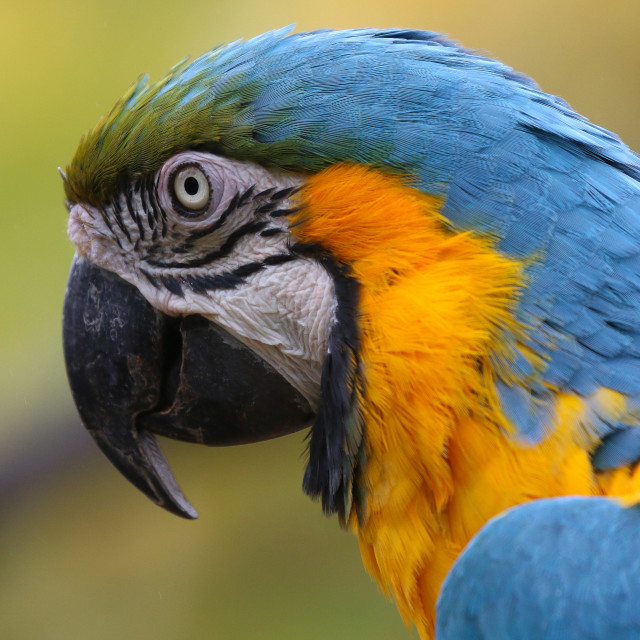 """""""Blue and Yellow Macaw"""" stock image"""