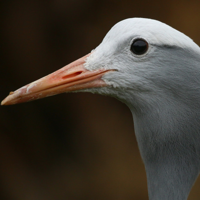"""""""Crane head portrait from the side"""" stock image"""