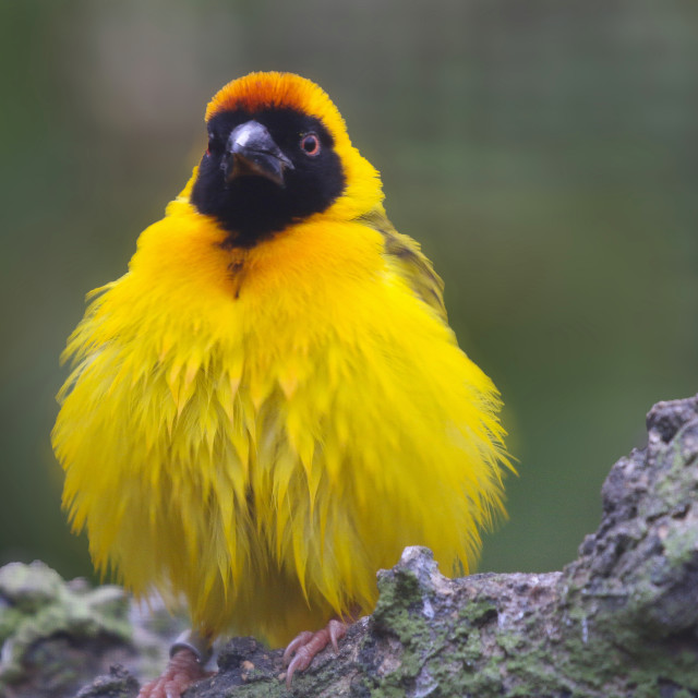 """Small Yellow Bird"" stock image"