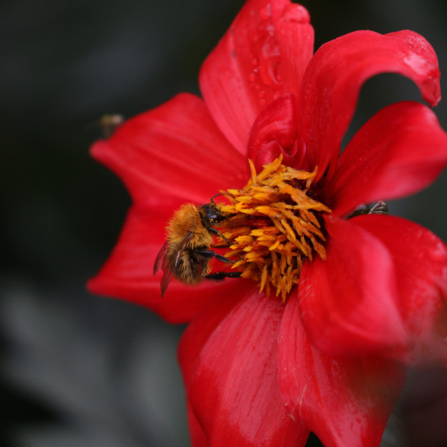 """""""Bee on a red flower"""" stock image"""