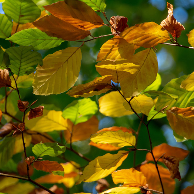 """Colourful beech leaves"" stock image"