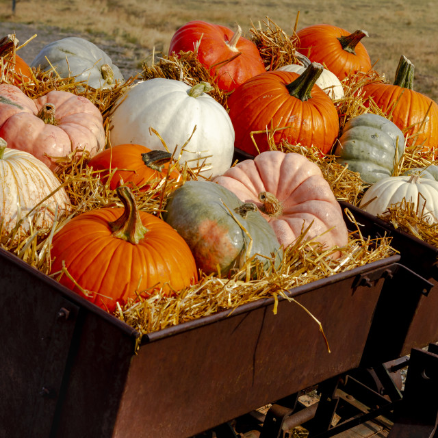 """""""Pumpkin display in old farm equipment on ranch road"""" stock image"""
