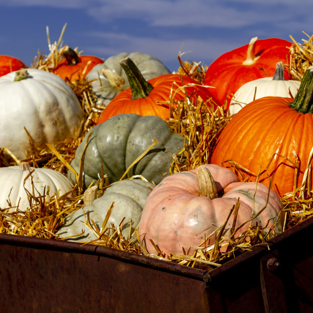 """Pumpkin display in old farm equipment on ranch road"" stock image"