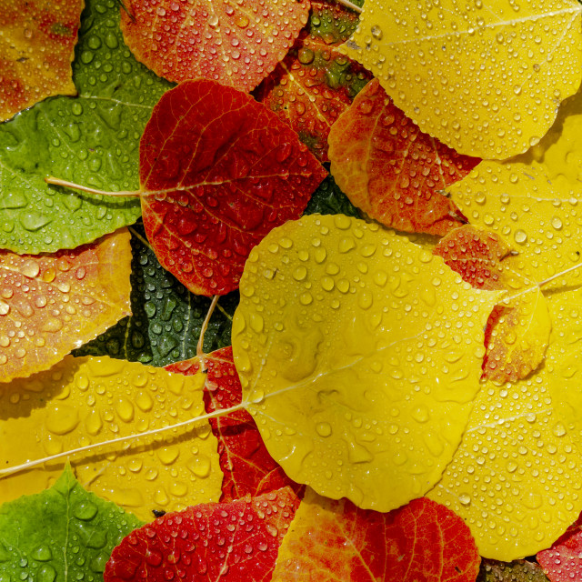 """""""Colorful Aspen tree leaves on ground with water drops"""" stock image"""