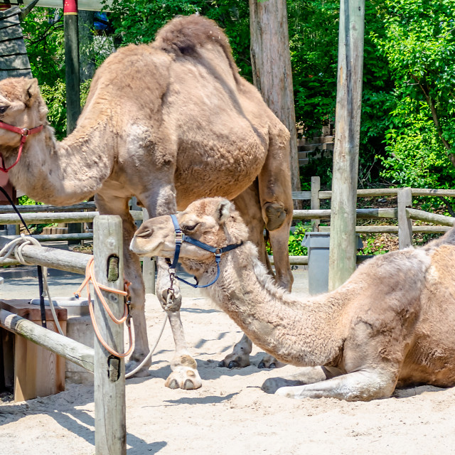 """Couple of indian camels having rest"" stock image"