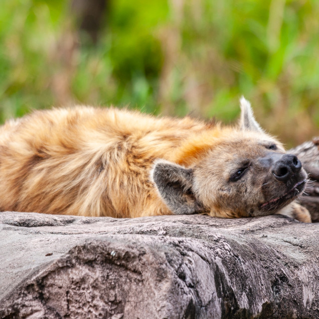 """A Spotted Hyena"" stock image"