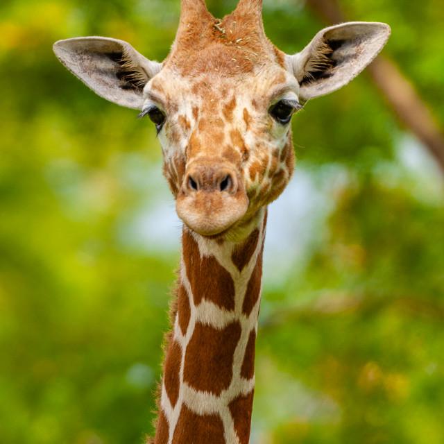 """""""Giraffe looking at camera"""" stock image"""
