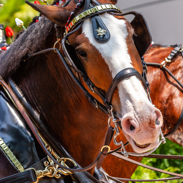 """""""Comical expression on a draft horses face"""" stock image"""