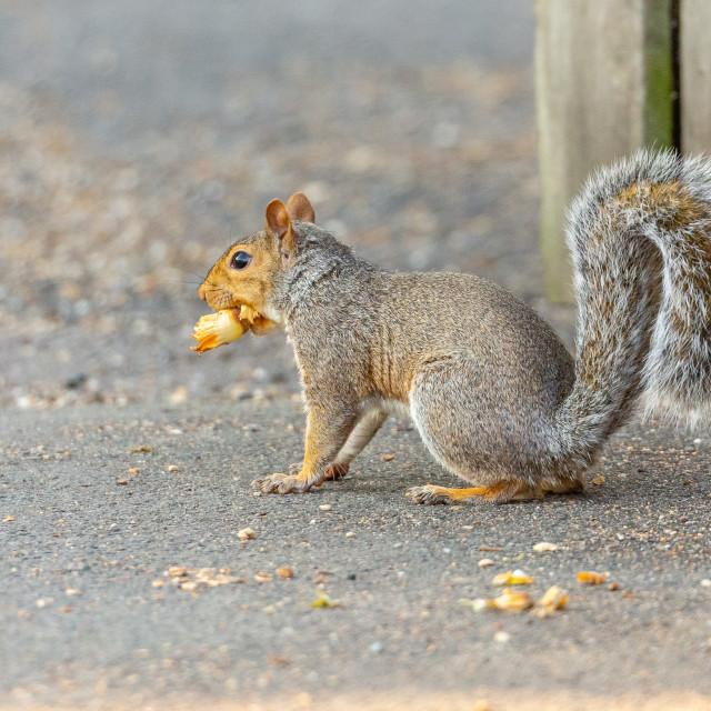 """Grey squirrel with a Hazelnut"" stock image"