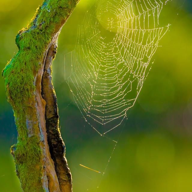 """Beautiful backlit dew covered Cobweb"" stock image"