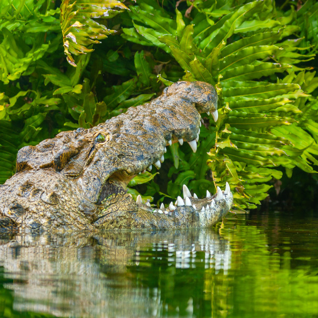 """""""A Nile Crocodile with open mouth"""" stock image"""