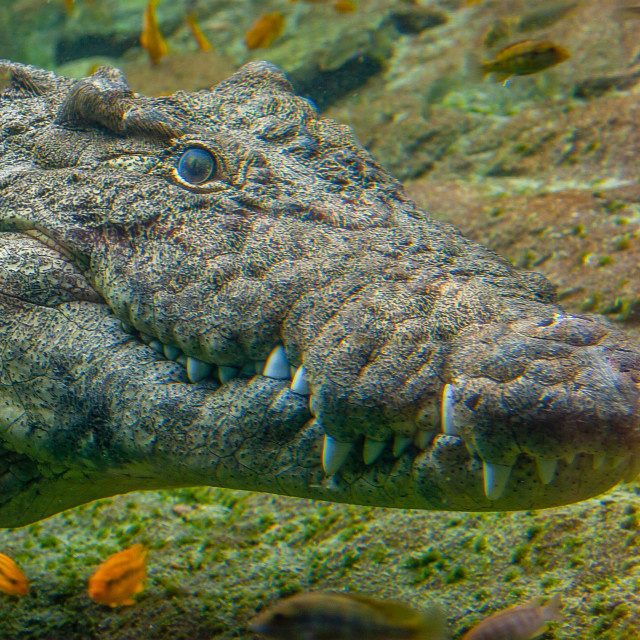 """A Nile Crocodile underwater"" stock image"