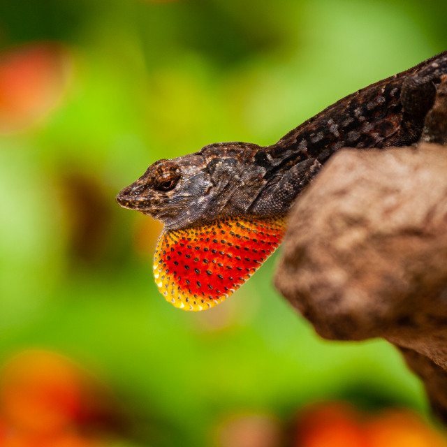 """""""A Brown Anole showing off its colourful dewlap"""" stock image"""