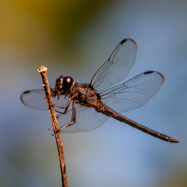 """""""A dragonfly on a twig watching for dinner"""" stock image"""