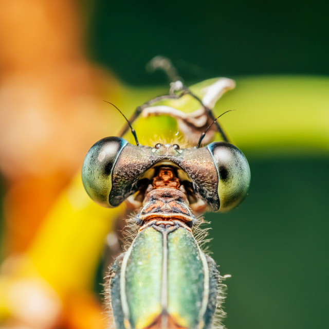 """""""Dragonfly Macro Portrait In Nature"""" stock image"""