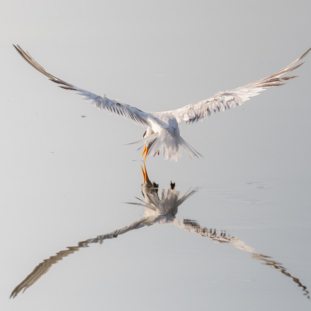"""Lesser Crested Tern In Action"" stock image"