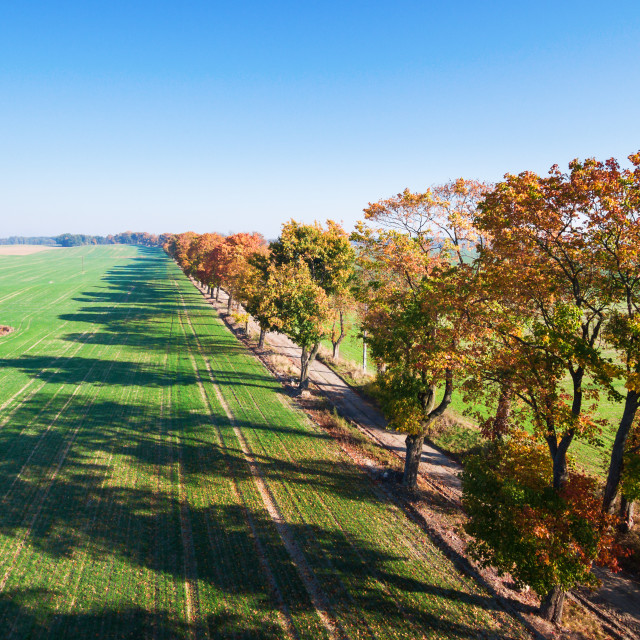 """""""Alley of autumn trees among green fields in countryside"""" stock image"""