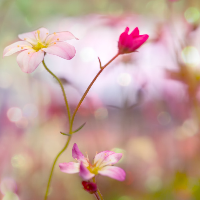"""wild flowers in a pinky field"" stock image"