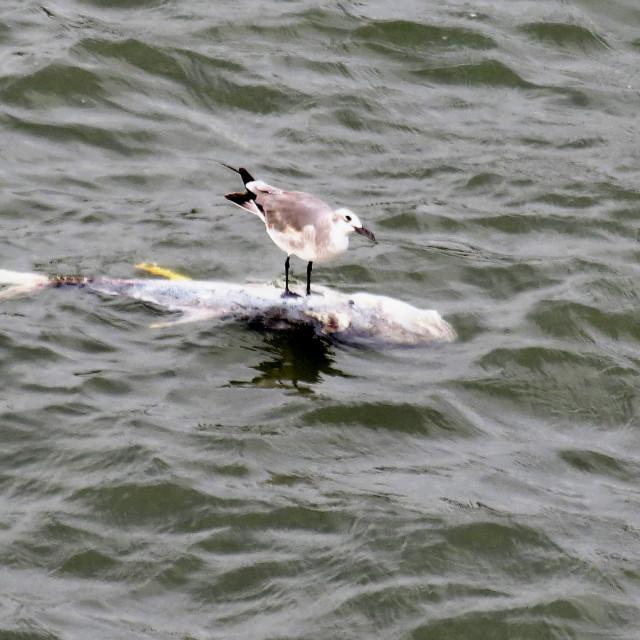 """Sea bird dining on fish"" stock image"