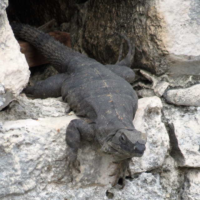 """""""Hole in the wall lizard"""" stock image"""
