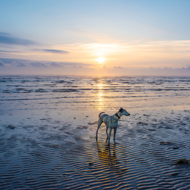 """Dog on Sunrise beach"" stock image"