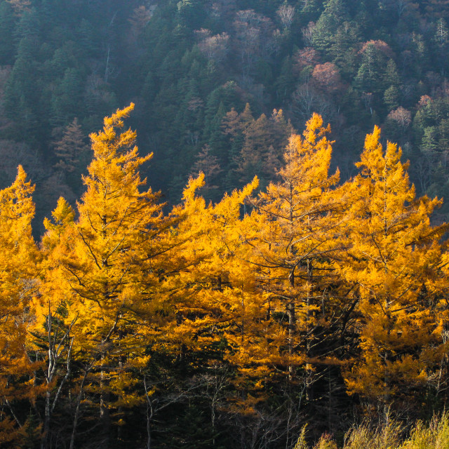 """Autumn Colours, Japan Two"" stock image"