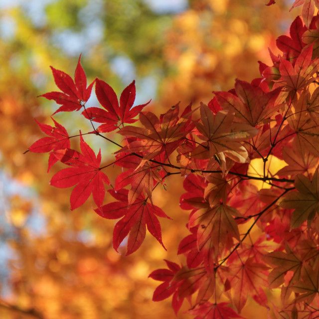 """Autumn Colours, Japan One"" stock image"