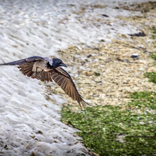"""flying raven"" stock image"