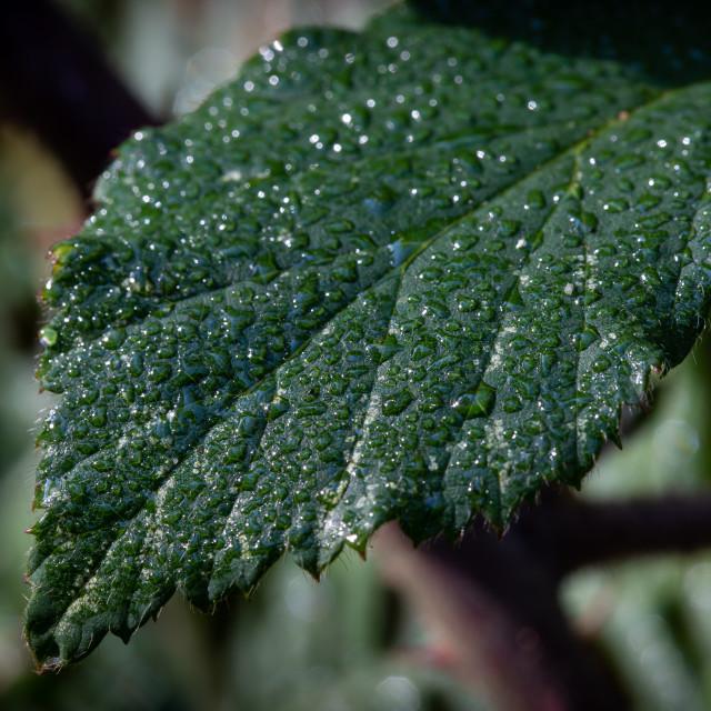 """Droplets on a Leaf"" stock image"