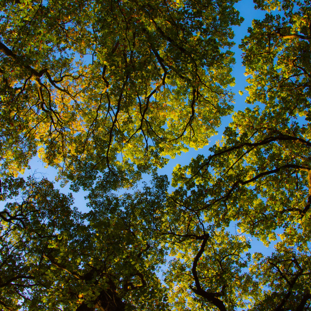 """Forest canopy in autumn"" stock image"