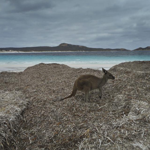 """kangaroo on beach 2"" stock image"