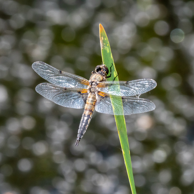 """Sunlit dragonfly and glittering water"" stock image"
