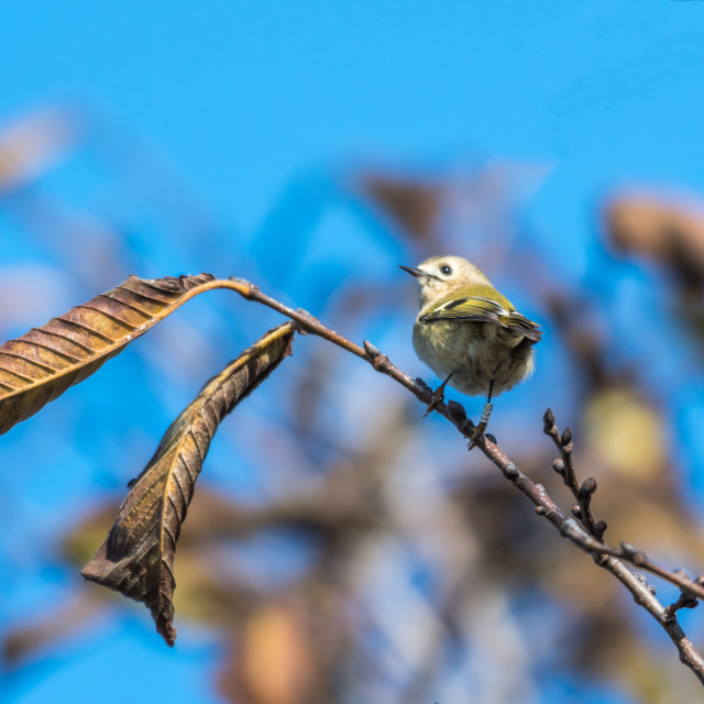 """Banded little Goldcrest bird"" stock image"