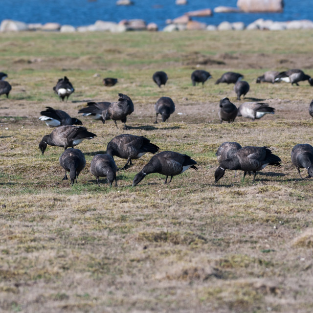 """Flock with migrating Brent Geese"" stock image"
