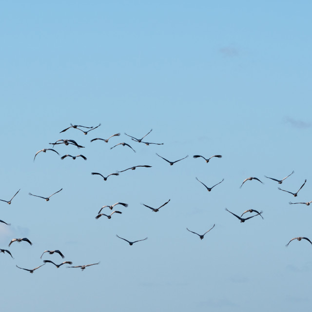 """Flock with flying cranes"" stock image"