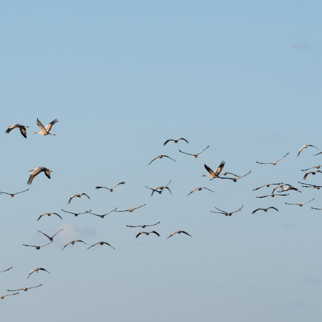 """Migrating Common Cranes"" stock image"